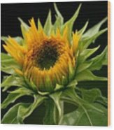 Sunflower - Doubleshine Wood Print