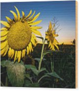 Sunflower Evening Wood Print