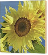 Sunflower Face Wood Print