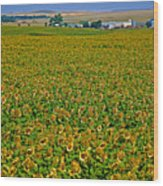 Sunflower Farm In Northwest North Dakota  Wood Print