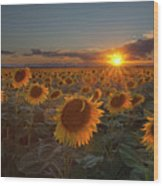 Sunflower Field - Colorado Wood Print by Lightvision, LLC