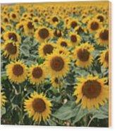 Sunflower Field France Wood Print