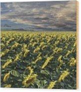 Sunflower Fields Near Denver International Airport Wood Print