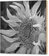 Sunflower In Contrast Wood Print