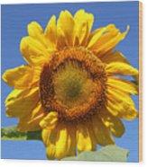 Sunflower In Sunshine  Wood Print
