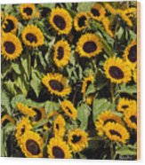 Sunflower Near Van Gogh Museum Wood Print
