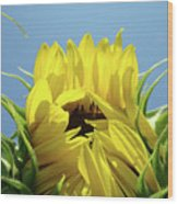 Sunflower Opening Sunny Summer Day 1 Giclee Art Prints Baslee Troutman Wood Print