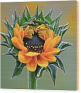 Sunflower Opens Wood Print