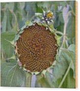 Sunflower Seedhead Wood Print