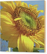 Sunflower Sunlit Sun Flowers 6 Blue Sky Giclee Art Prints Baslee Troutman Wood Print