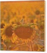 Sunflower Sunset Wood Print