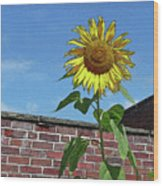 Sunflower With Brick Wall Poster Wood Print
