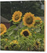 Sunflowers And Red Barn 2 Wood Print