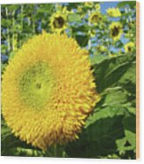 Sunflowers Art Prints Sun Flower Giclee Prints Baslee Troutman Wood Print