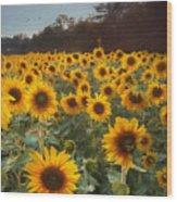 Sunflowers At Sunset Wood Print