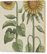 Sunflowers Illustration From Florilegium Wood Print