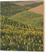 Sunflowers In The Palouse Wood Print