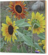 Sunflowers Of August Wood Print