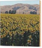 Sunflowers Of Vacaville Wood Print