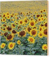 Sunflowers On A Cloudy Day Wood Print