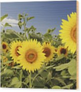 Sunflowers On North Shore Wood Print by Vince Cavataio - Printscapes