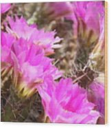 Sunlight On Pink Cactus Blooms Wood Print
