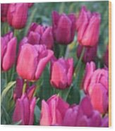 Sunlight On Pink Tulips Wood Print
