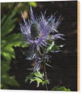 Sunlit Bloom Of Alpine Sea Holly Wood Print