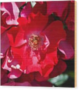 Sunlit Blooms Of Dortmund Hybrid Scots Briar Rose Wood Print