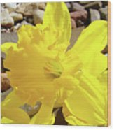 Sunlit Daffodil Flower Spring Rock Garden Baslee Troutman Wood Print