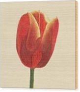 Sunlit Tulip Wood Print by Phyllis Howard