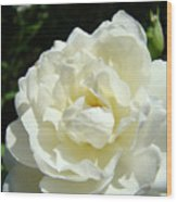 Sunlit White Rose Art Print Floral Giclle Print Baslee Troutman  Wood Print