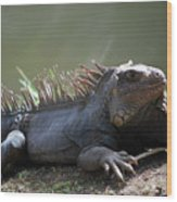 Sunning Gray Iguana Sitting Beside Water Wood Print