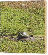 Sunning Turtle In Swamp Wood Print