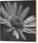 Sunny Daisy Black And White 2 Wood Print