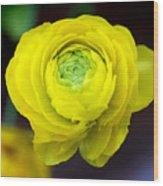 Sunny Ranunculus Wood Print