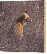 Sunny Soaked Fox Wood Print