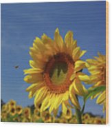 Sunny Sunflower Soloist With Backup Chorus Wood Print