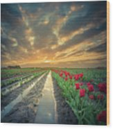 Sunrise At Tulip Filed After A Storm Wood Print