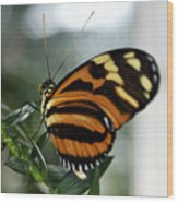 Sunrise Butterfly Wood Print