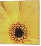 Sunrise Gerbera Wood Print