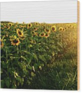 Sunset And Rows Of Sunflowers Wood Print