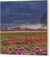 Sunset At Colorful Tulip Field Wood Print