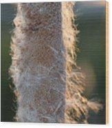 Sunset Cat Tail Lathrop California Wood Print