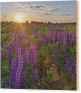 Sunset Over Meadow Of Lupine Wood Print