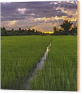 Sunset Rice Fields In Cambodia Wood Print