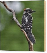 Sunshine Needed - Male Downy Woodpecker Wood Print