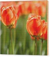 Sunsoaked Tulips #6 Wood Print