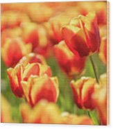Sunsoaked Tulips #7 Wood Print
