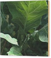 Super-fly Cabbage Wood Print
